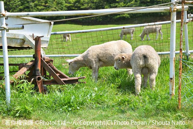 袋井市のデンマーク牧場の羊