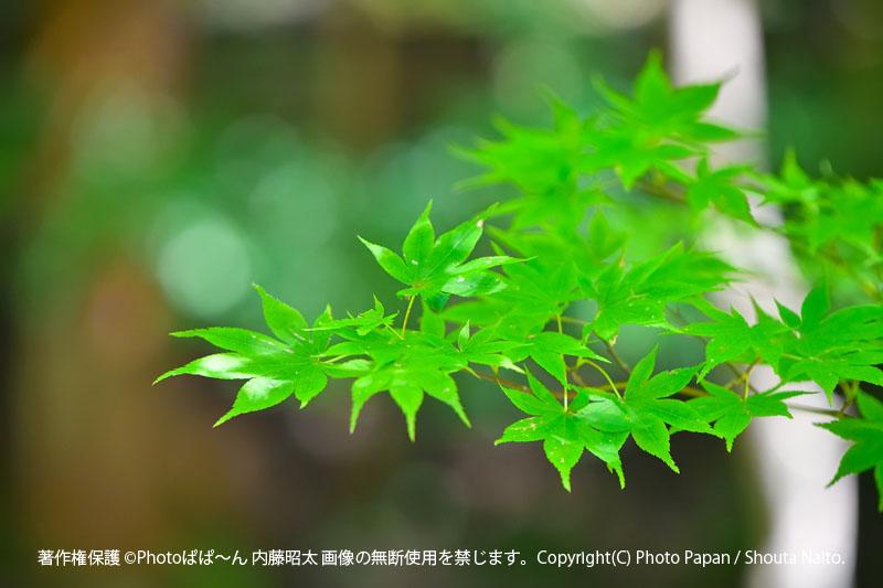 遠州森町の、遠江國一宮 小國神社の新緑のもみじ。